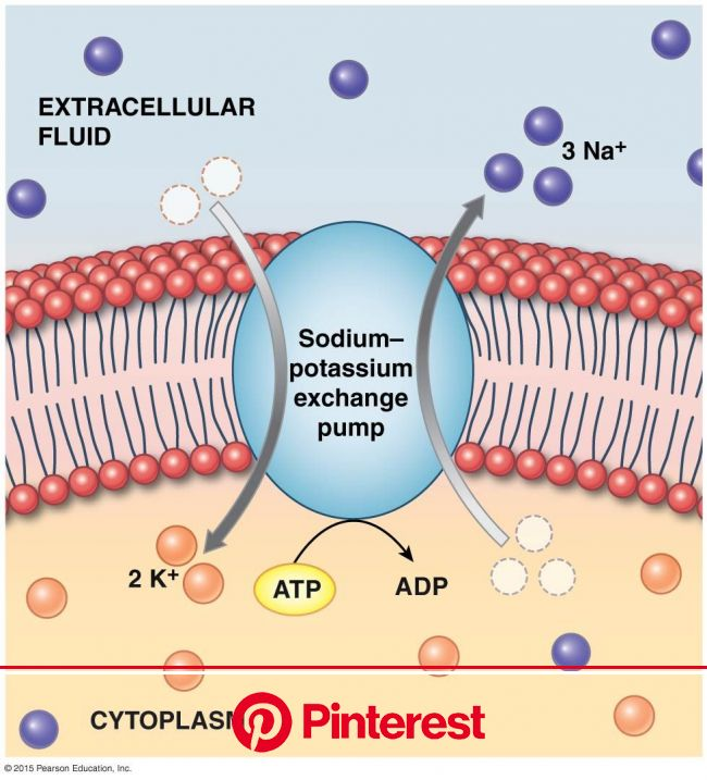 The Sodium-Potassium Exchange Pump | Sodium potassium pump, Physiology, Human anatomy and physiology